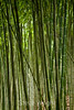 Bamboo - Hakone Gardens #8640