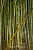 Bamboo - Hakone Gardens #8646