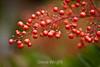 Berries - Hakone Gardens #8793