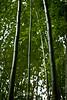 Bamboo - Hakone Gardens #8642