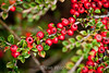 Cotoneaster - Hakone Gardens #8546