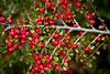 Cotoneaster - Hakone Gardens #8555