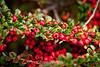 Cotoneaster - Hakone Gardens #8544