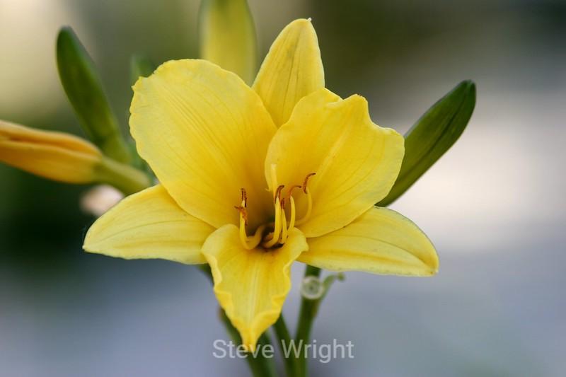 Hemerocallis (Day Lily) - SF Zoo (26) D