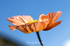 Poppy (140) D