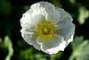 Poppy (105) D