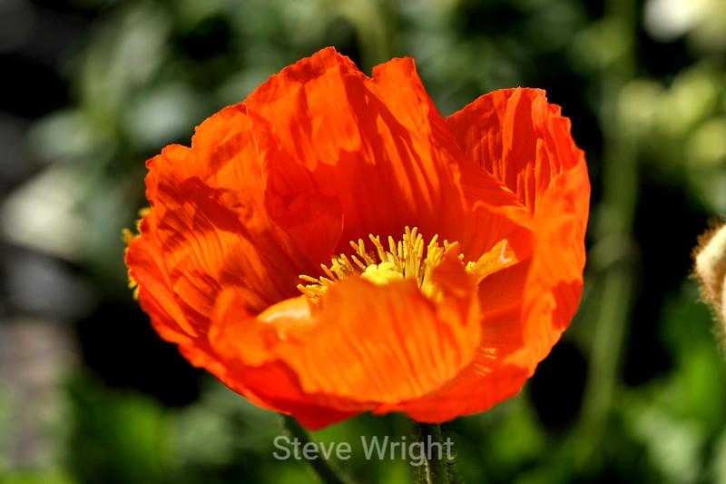 Poppy (137) D