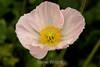 Poppy (121) D