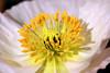Poppy (152) D