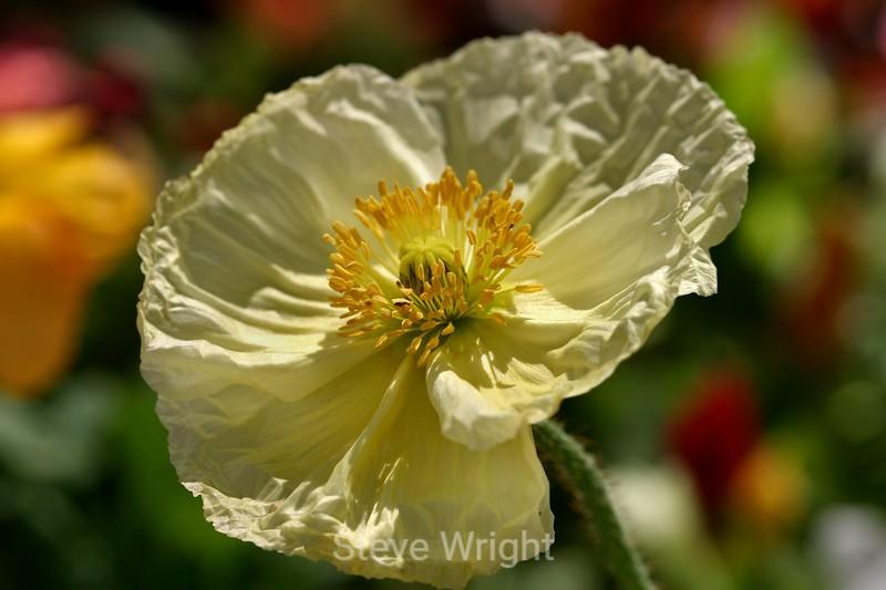 Poppy (88) D