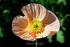 Poppy (134) D
