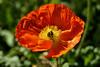 Poppy (136) D