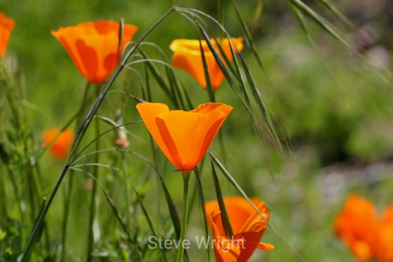 California Poppies - SF Zoo (11) D