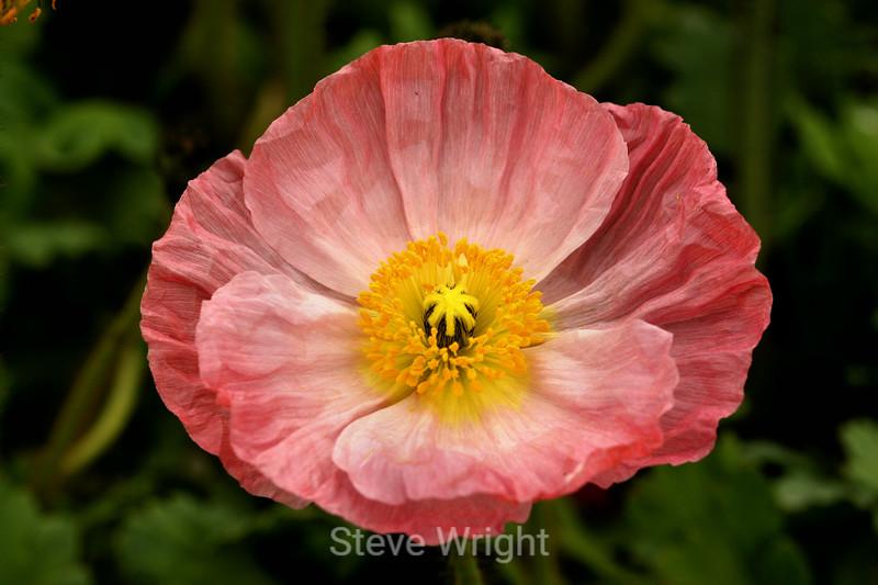 Poppy (119) D