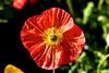 Poppy (142) D