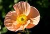 Poppy (139) D