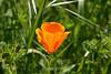 California Poppies - SF Zoo (10) D