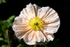 Poppy (135) D