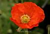 Poppy (118) D