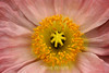 Poppy (120) D