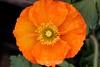 Poppy (74) D