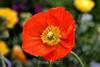 Poppy (1) D