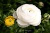 Ranunculus (61) D