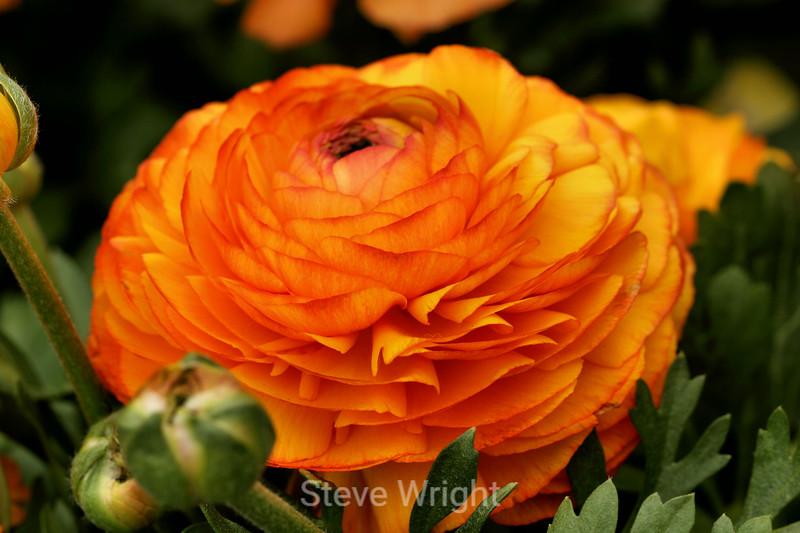 Ranunculus (67) D