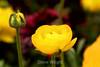 Ranunculus (65) D