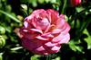Ranunculus (74) D
