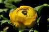Ranunculus (80) D