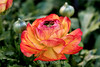 Ranunculus (116) D