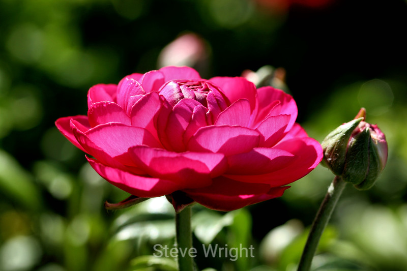 Ranunculus (77) D