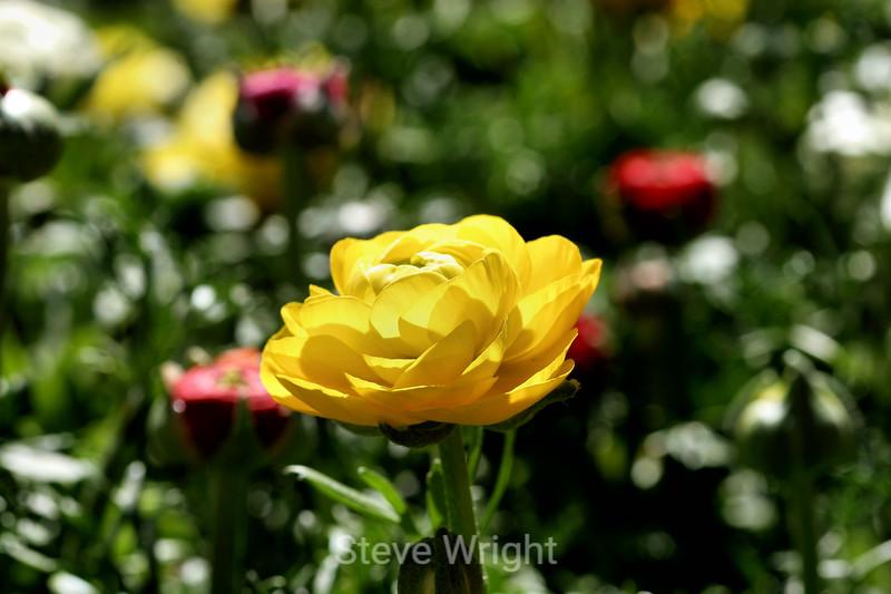 Ranunculus (79) D