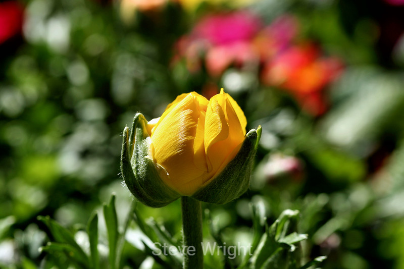Ranunculus (78) D