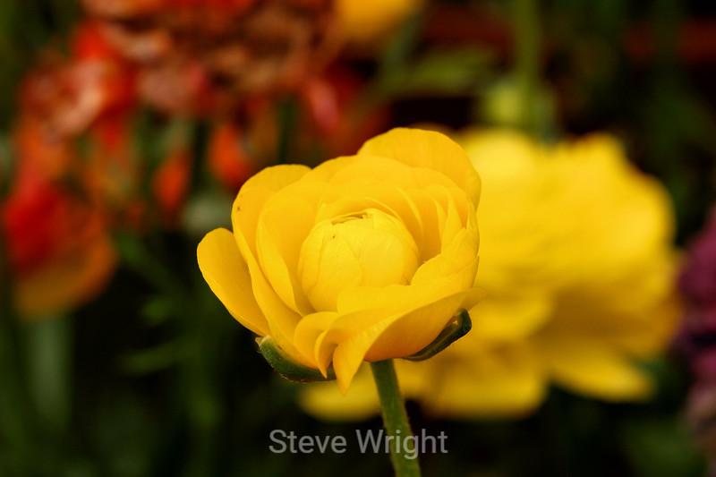 Ranunculus (66) D