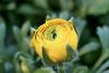 Ranunculus (113) D