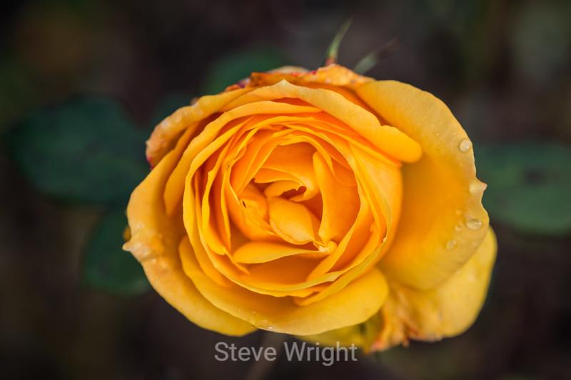 Rose - San Jose Municipal Rose Garden #0531