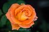 Rose - San Jose Municipal Rose Garden #0652
