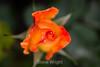 Rose - San Jose Municipal Rose Garden #0665