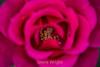 Rose - San Jose Municipal Rose Garden #0610