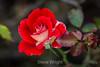 Rose - San Jose Municipal Rose Garden #0636