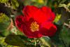 Rose - San Jose Municipal Rose Garden #0692