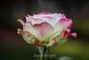 Rose - San Jose Municipal Rose Garden #0673