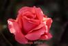Rose - San Jose Municipal Rose Garden #0686