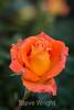 Rose - San Jose Municipal Rose Garden #0657