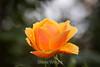 Rose - San Jose Municipal Rose Garden #0641