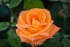 Rose - San Jose Municipal Rose Garden #0648