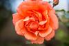 Rose - San Jose Municipal Rose Garden #0564