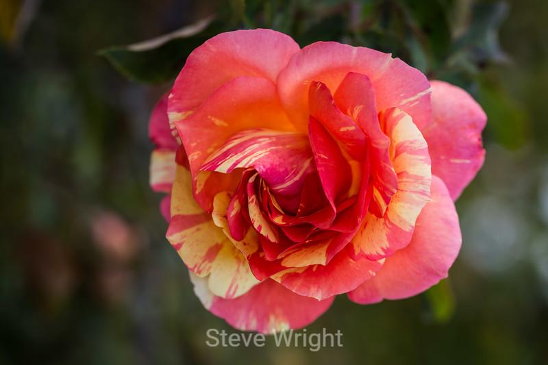Rose - San Jose Municipal Rose Garden #0695